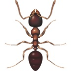 Black House Ant - Bayer Pest Control