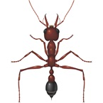 Bulldog Ant - Bayer Pest Control