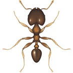 Coastal Brown Ant - Bayer Pest Control