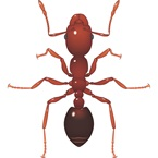 Fire Ant / Red Imported Fire Ant - Bayer Pest Control