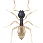 Ghost Ant - Bayer Pest Control