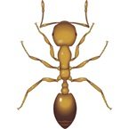 Pharaoh Ant - Bayer Pest Control