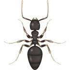 White Footed Ant - Bayer Pest Control