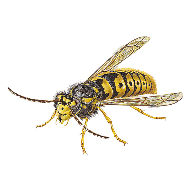 Kill wasps; control wasps; how to eradicate wasps