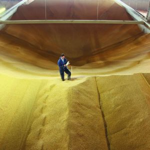 grain in silo; k-obiol protects grain