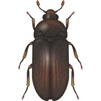 Hide and Larder Beetle - Bayer
