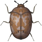 Carpet Beetle - Bayer Pest Control