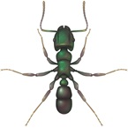 Green Headed Ant - Bayer Pest Control