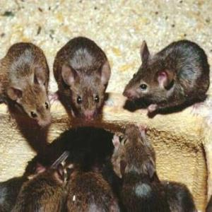Rodent activity increases in COVID-19 isolation