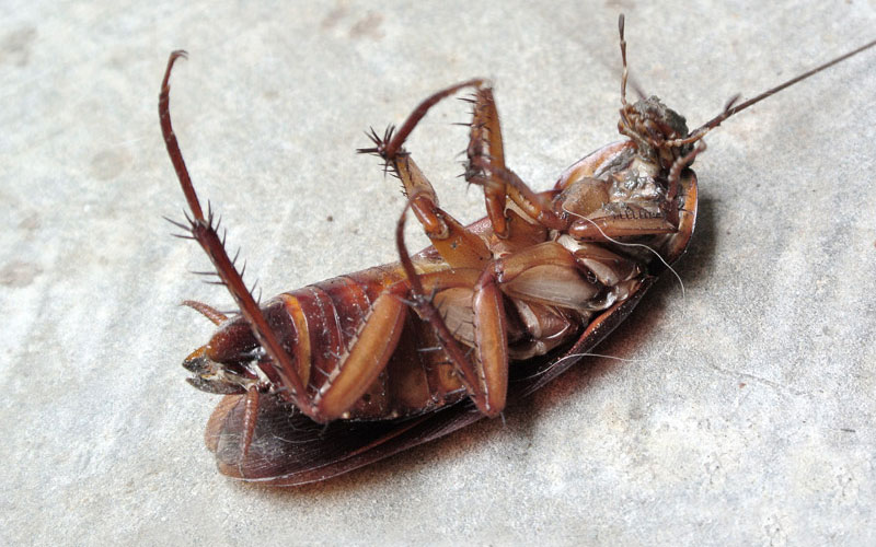 cockroach - Bayer - Pest Control