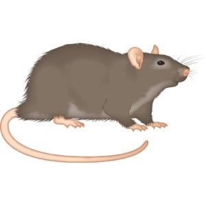 Rat - Rodent Control - Bayer - Pest Control